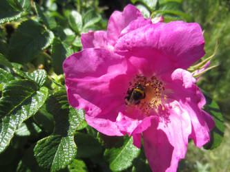 Japanese rose / Vresros 2 by ingvefrej