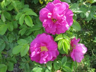 Japanese rose / Vresros 3 by ingvefrej