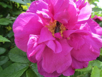 Japanese rose / Vresros 4 by ingvefrej