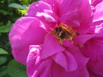 Japanese rose / Vresros 5 by ingvefrej