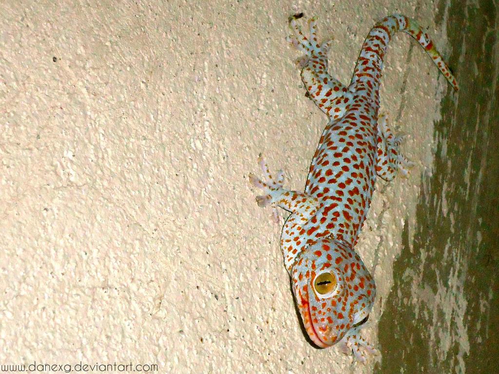 Tokay Gecko by danexg
