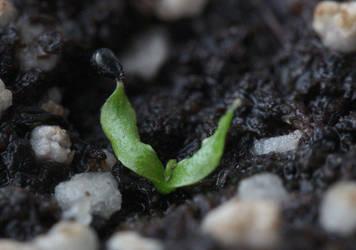 Dionaea muscipula by Miniart89