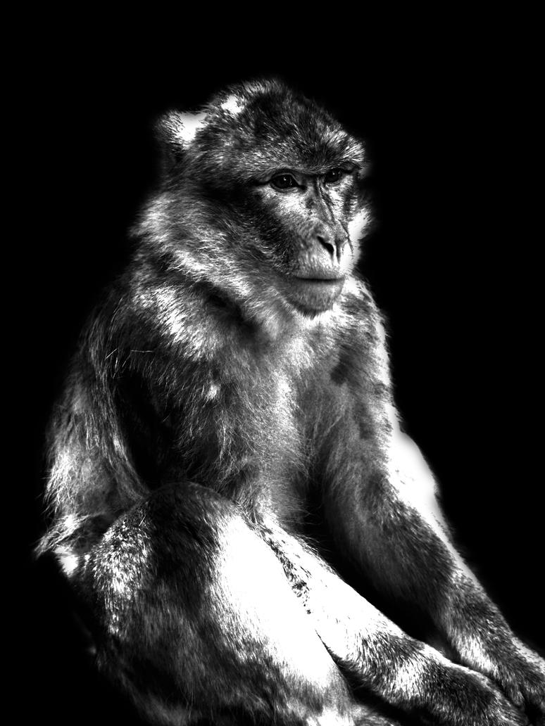 Barbary ape - magot / hard BW, low light by elDenim