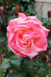 Elizabeth Castle Rose 1 19 June 2016 by wildirishrose7