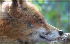 FOX by DragonSouL7