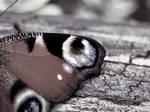 Butterfly Wing by Sian44