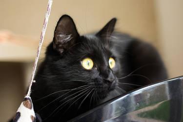Black Cat by Sian44