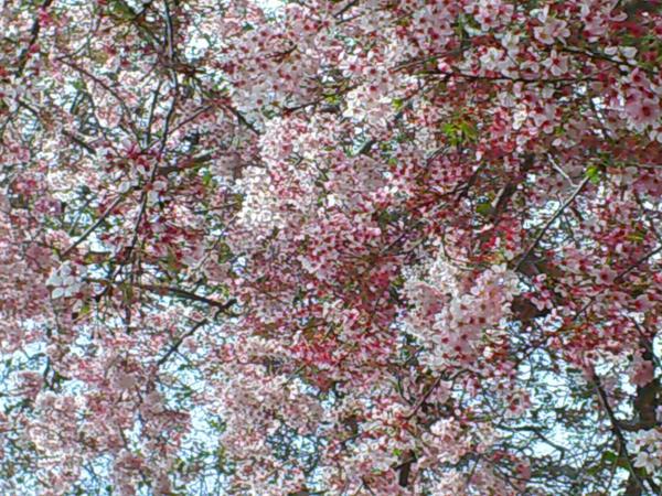 Sakura by Charexl-chan