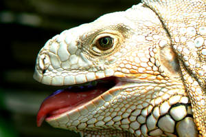 Iguana 3 by James-Fong