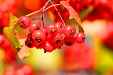 Shiny Red Berries