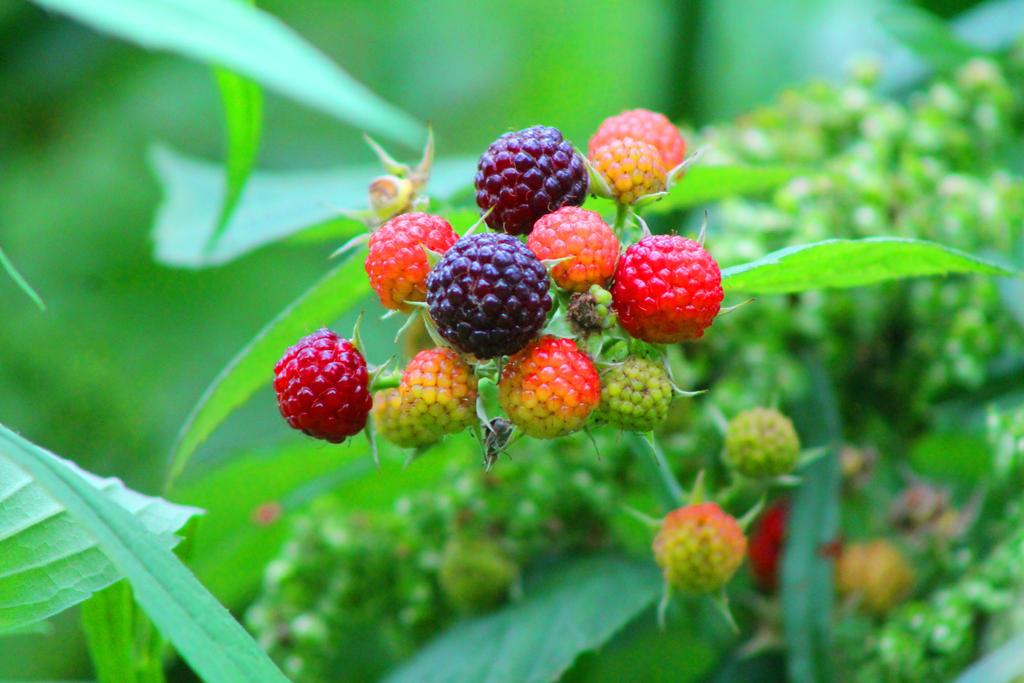 Black Berries by Nookslider