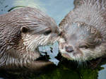 Otter Kiss Nicely