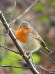 Robin 2 by Queenselphie