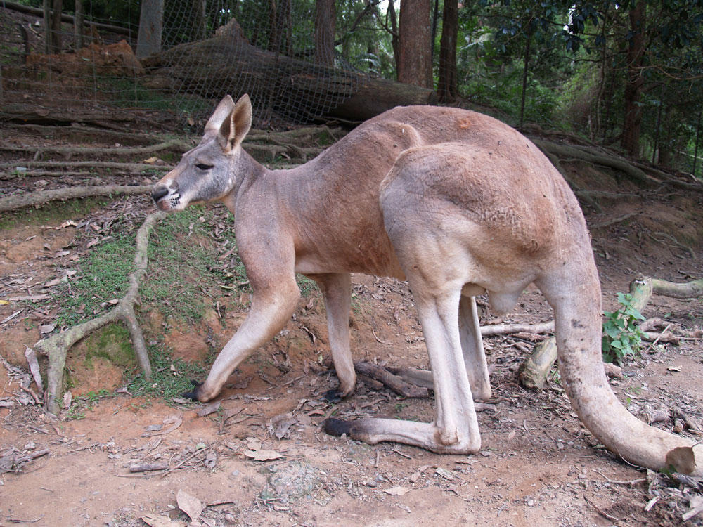 Kangaroo anatomy male