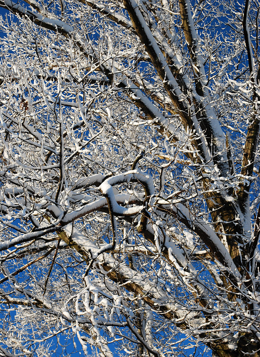Snowy Oak by VulgarDisplayOfHench