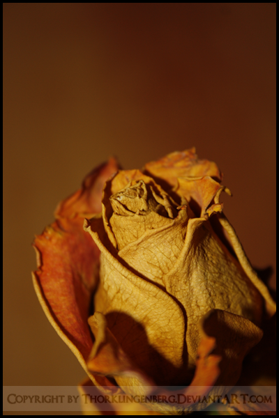 Withered Rose by ThorKlingenberg