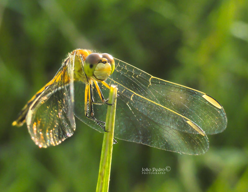 Dragonfly by John-Peter
