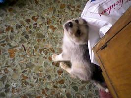 Suki, the Husky Puppy