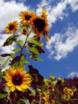 sunflower 2 by castoff002