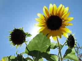 sunflower 3 by castoff002