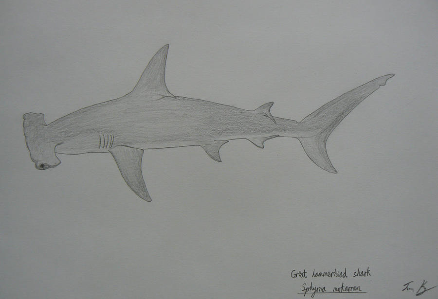 Hammerhead Shark Drawings