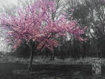 A cherry blossom stands alone