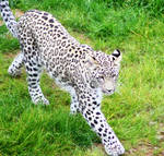 Persian leopard 2