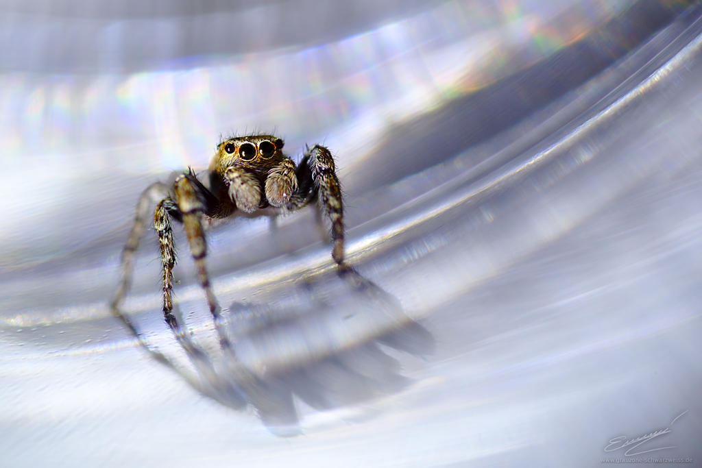 Jumping Spider by Ikarusthefirst