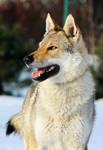 CS Wolfdog Stock 2