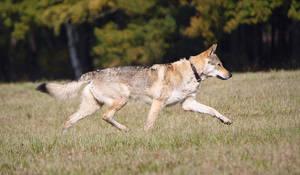 The Smooth Movement of Czechoslovakian Wolfdog