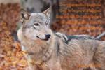 She-Wolf Bessinka