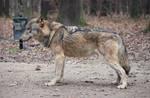 Wolf Conformation