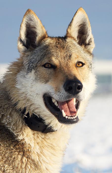 Czechoslovakian Wolfdog Raksha by Czertice
