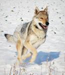 Czechoslovakian Wolfdog Stock 4
