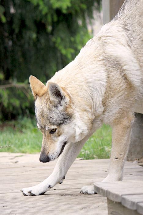 Wolfy V. by Czertice