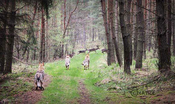 Prey Drive in Wolfdogs