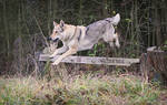 Wolfdogs Can Fly XVII.