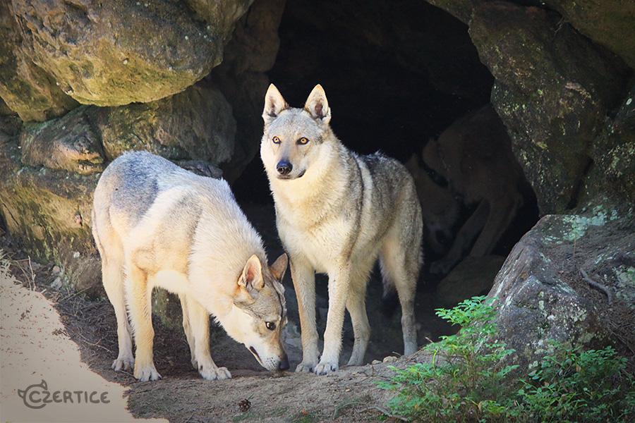 Vlk jeskynni by Czertice