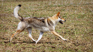 Wolfdog Police by Czertice