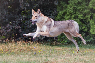 Wolfdogs Can Fly XXIV.