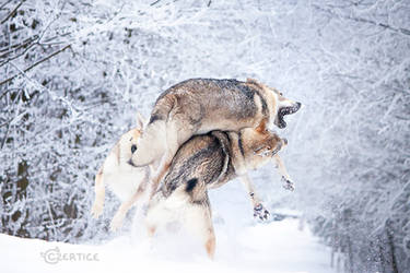 Wolfdogs Can Fly XXV. by Czertice