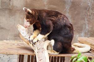 Matschie's Tree-Kangaroo