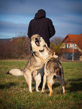 Do Wolfdogs Behave Behind Your Back