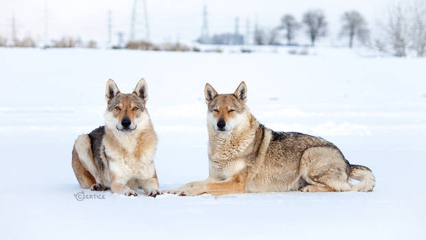 Yellow-Grey Dogs on White Background