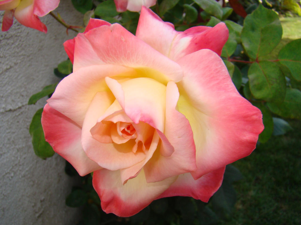 White and Pink Rose IX by EmmaL27 on DeviantArt