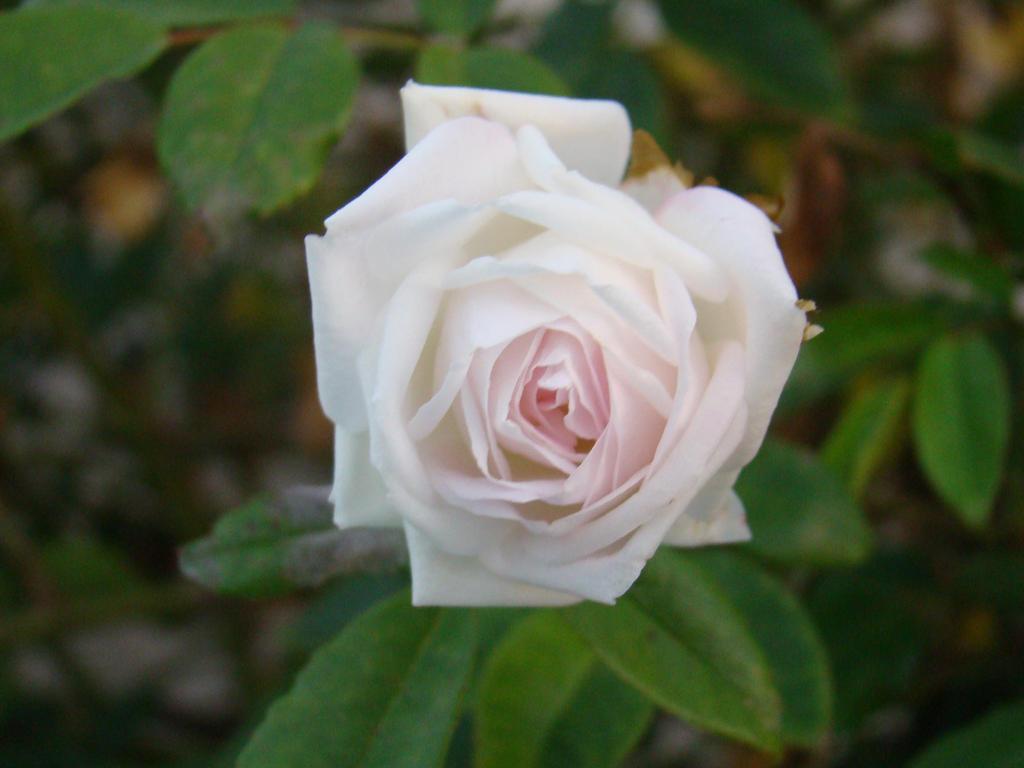 Little White Rose By Emmal27 On Deviantart