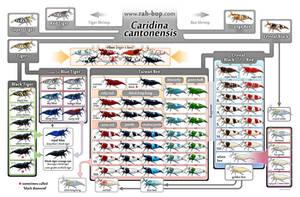 Caridina cantonensis family tree