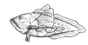 Non-glowing Bathycrystalichthys and friend