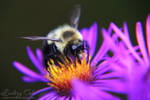 Bumble Bee by Wildphoenix22