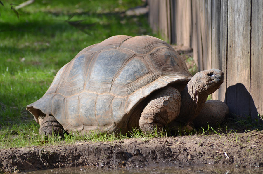 Galapagos Tortoise Stock 02 by Vesperity